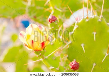 Flowering Cactus In The Flower Bed In The Summer In The Park