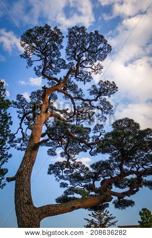 Japanese Black Pine On A Blue Sky, Nikko, Japan