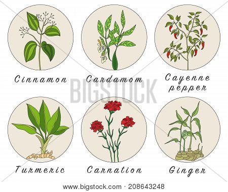 Set of spices herbs and officinale plants icons. Healing plants. Medicinal plants herbs spices hand drawn illustrations. Botanic sketches icons.
