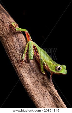tree frog crawling on branch in tropical jungle of amazonian rain forest Brazil this beautiful amphibian lives at night it is a monkey treefrog Phyllomedusa vailanti poster