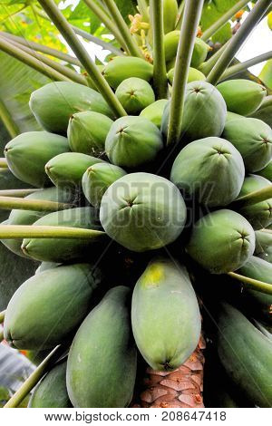 Papaya Tree With Fruits