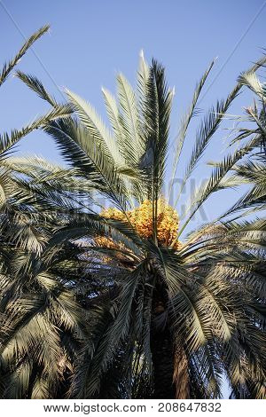 Date Palm With Fruits Against The Blue Sky..