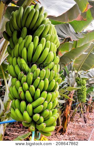 Green Bananas Hanging On Banana Tree