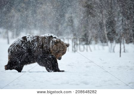 Big brown bear photographed in late winter while walking in snow in the Finnish taiga under a heavy snowfall