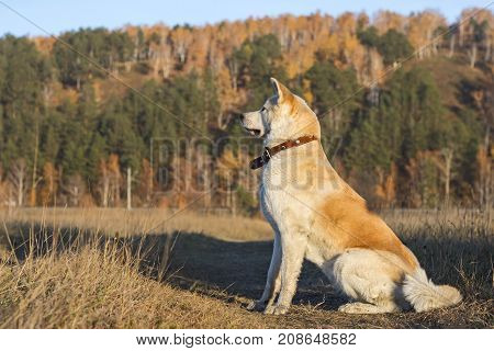 Beautiful thoroughbred well-built dog of Japanese akita breed in autumn in a field on autumn beautiful yellow and green coniferous trees background.