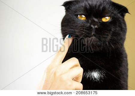 Female Hand Touch Serious Black Cat With Yellow Eyes In Dark. Face Black Scottish Fold Cat With Gold