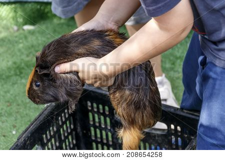 Hands of a little boy holding a guinea pig close-up