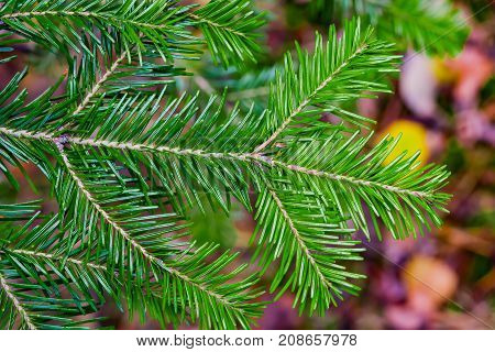 Branch coniferous tree Ábies sibírica with green needles closeup on the background blur of autumn leaves of different colors, autumn landscape