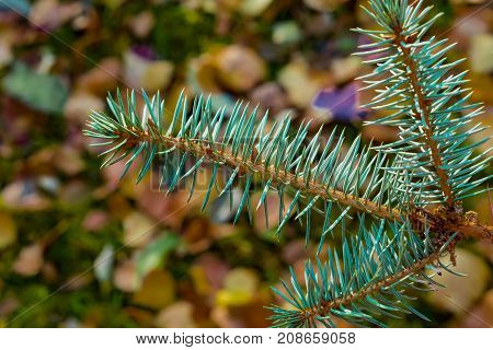 Branch coniferous tree spruce with blue needles closeup on the background blur of autumn leaves of different colors, autumn landscape
