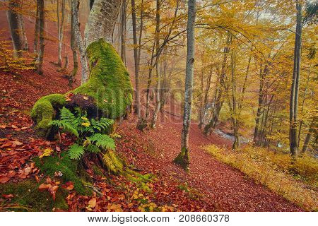 High in the mountains of the Carpathians and the Hutsul located tract with ancient forest, where the ancient giants meet in the wild forest autumn, green mosses intertwined with red golden foliage
