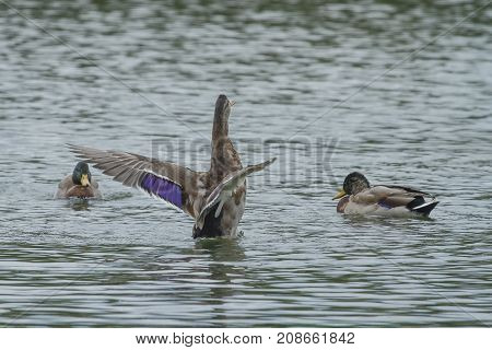 photo of a female Mallard duck flapping her wings