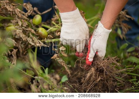 Closeup Hands In Gloves Uproot Sick Tomato Plant