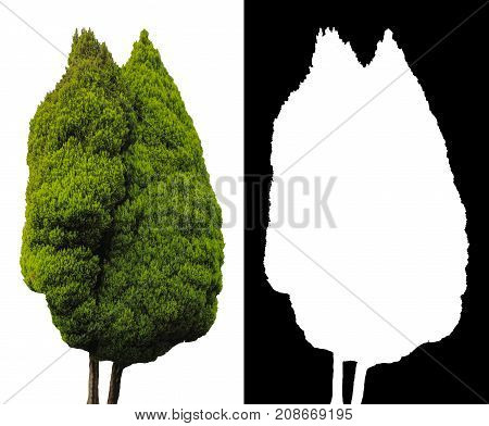 Big italian cypress tree isolated on white background with alpha mask