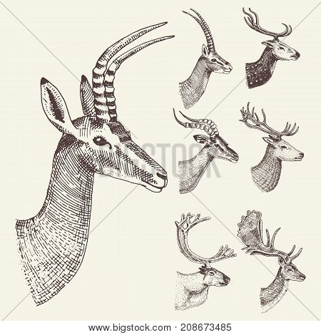 set of Horn, antlers Animals moose or elk with impala, gazelle and greater kudu, fallow deer reindeer and stag, doe or roe deer, axis and dibatag hand drawn, engraved.