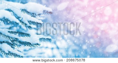 Winter bright background with spruce branches under the snow