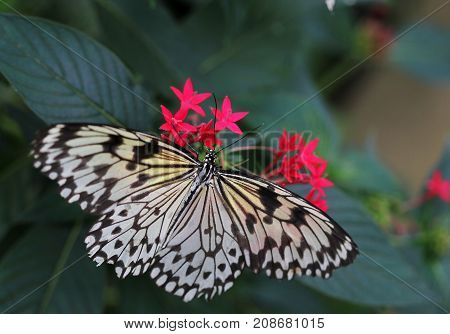 Idea Leuconoe Butterfly Is Sitting On The Flower