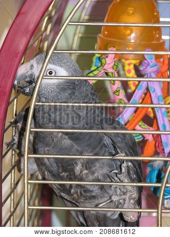 Disabled Timneh African Grey Parrot. Born with deformed legs and feet unable to perch normally or stand but able to move around on bars of cage.