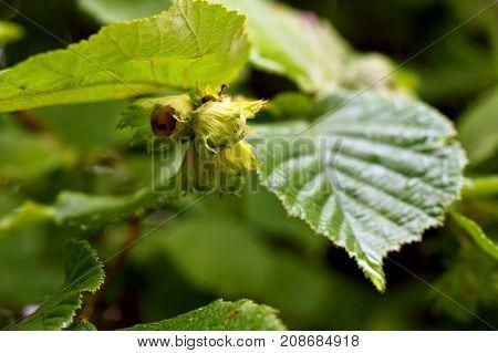 thickets of hazelnut shrub hazel healthy, brown, season