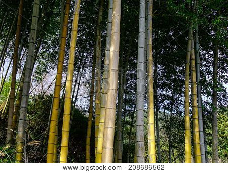 Bamboo Forest In Kumano Kodo Trails