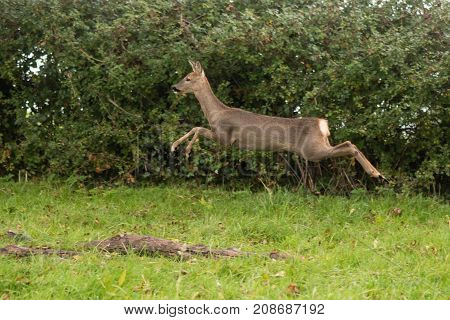Roe deer (Capreolus capreolus) doe leaping. Small elegant deer in family Cervidae showing white rump in the air