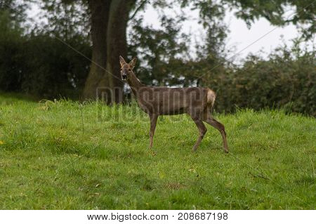 Roe deer (Capreolus capreolus) doe looking at camera. Small elegant deer in family Cervidae showing white rump and protuding tongue