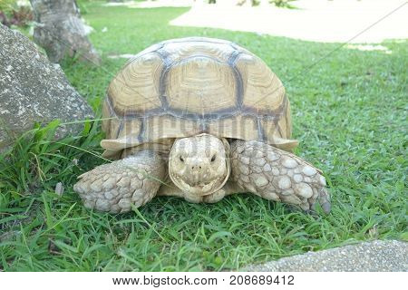 Giant Tortoise look at camera Background on Grass.