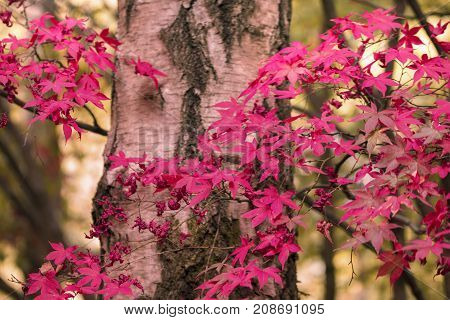 Nature woodland with bright vivid autumnal pink autumn Maple leaves