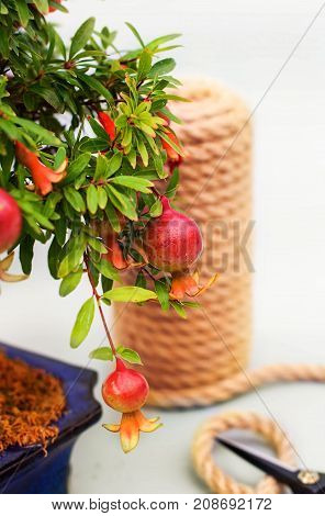 Bonsai blooming pomegranate with flowers and small pomegranate fruits on a gray light background with a tangle of twine and garden scissors.