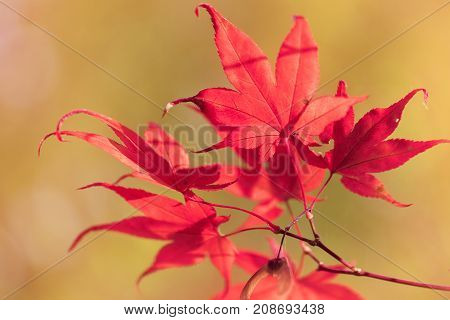 Autumn colours and maple leaves in Autumn nature woodland