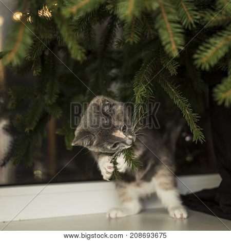 A cute little playful cat sits on the windowsill near the window and pulls the fir branches into the mouth.