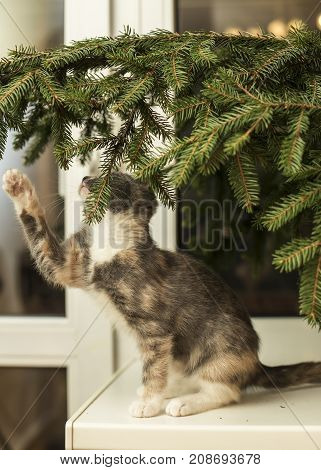 A nice three-colored kitten sits on the windowsill and wants to touch the fir branch with a paw.