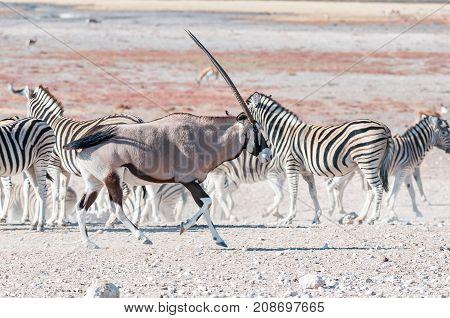 An oryx Oryx gazella also called a gemsbok running past Burchells zebras in Northern Namibia