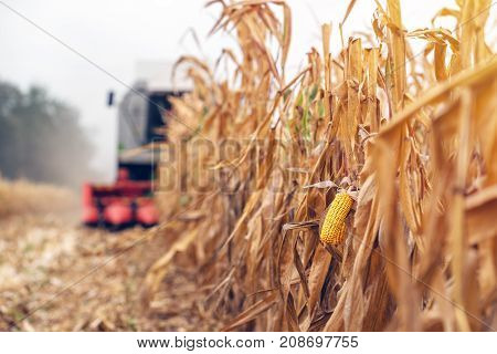 Harvesting corn crop field. Combine harvester working on plantation. Agricultural machinery gathering ripe maize crops.