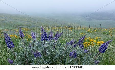 Lupine and Fence Line in Fog, Spring Columbia Gorge