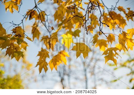 Yellow Autumn Leaves On Sky Background