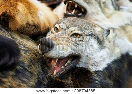 The head stuffed wolf hunting trophy closeup