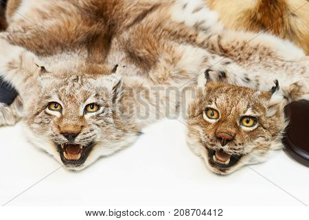 The two stuffed lynxes hunting trophy closeup