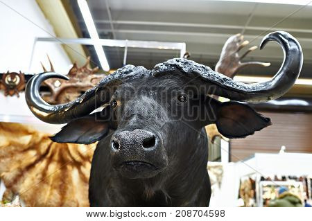 The stuffed black buffalo hunting trophy closeup