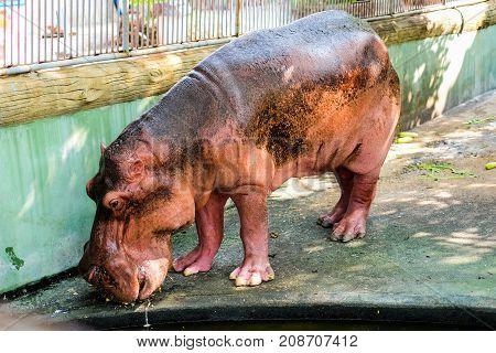 Hippopotamus on the concrete floor for animal background or texture.