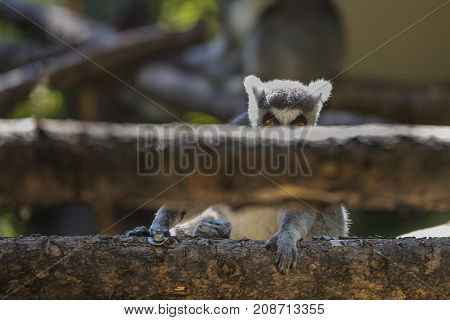 Ringtail Lemur looking out over a log.