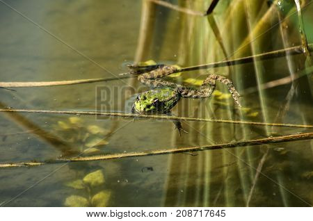 Marsh green frog with its head popping out of pond water amid weed and reeds