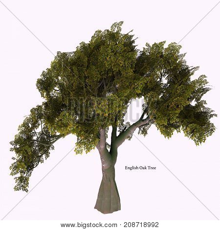 English Oak Tree with Font 3d illustration - The Oak tree comes in 600 different species as a deciduous or evergreen variety and develops an acorn fruit nut.