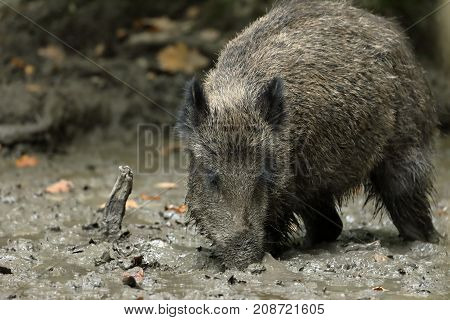 The Wild boars in the forest and mud
