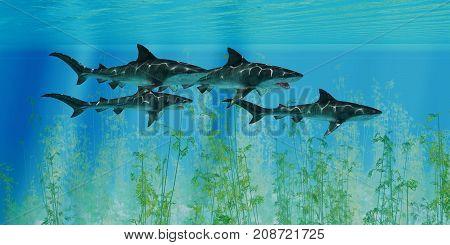 Tiger Sharks prowl the Ocean 3d illustration - Several Tiger sharks swim together over an ocean kelp forest searching for their next prey.