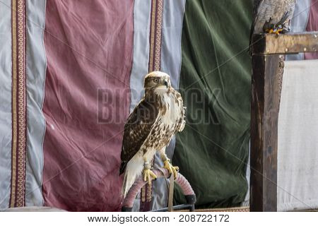 Exotic, beautiful eagle in a display of birds of prey