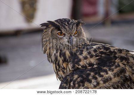 beautiful owl in a medieval fair with exhibition of birds of prey