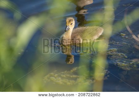 Canadian Baby Goose Swimming in a Lake