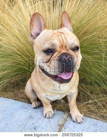 Young Tan French Bulldog Male sitting in front of Mexican feathergrass
