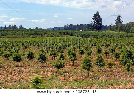 Christmas tree farm in Clackamas County Oregon