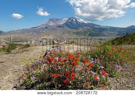 Wildflowers at Mount Saint Helens National Volcanic Monument in Washington State in summer along hiking trail